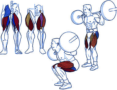 muscle anatomy - squats with a barbell on the shoulders